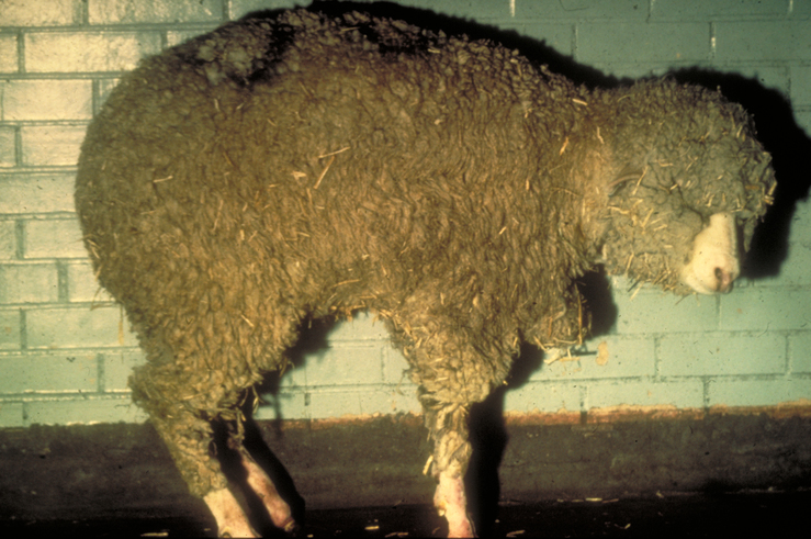 Bluetongue disease in sheep
