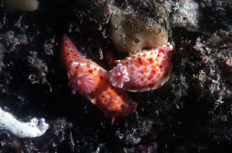 A Nudibranch, Chromodoris amoena