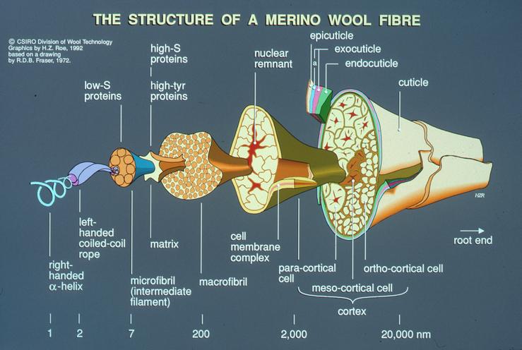 Diagram    of Wool Fibre Structur  CSIRO Science Image