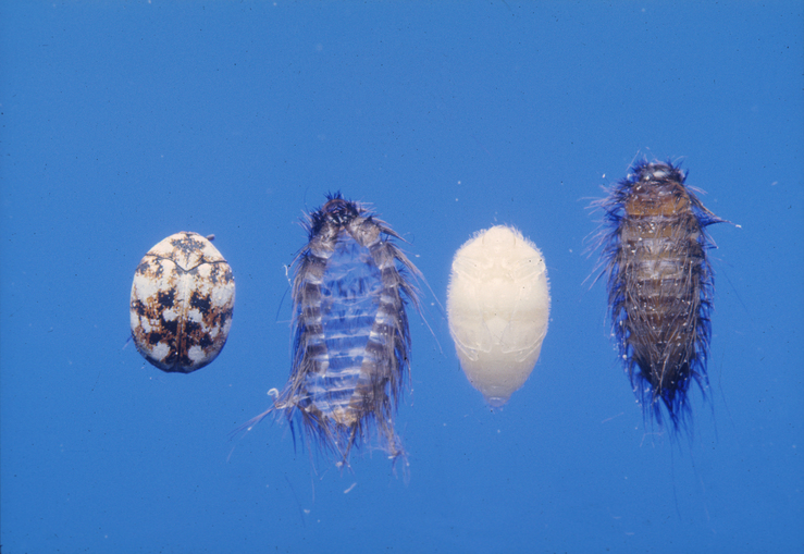 Life-cycle of the Carpet Beetle