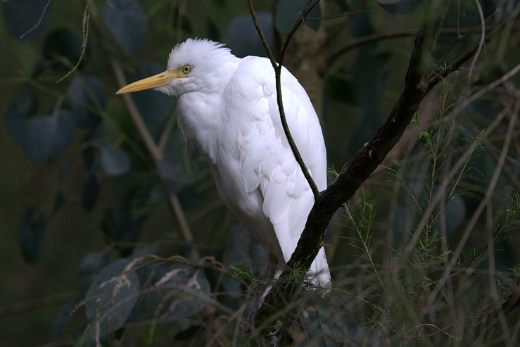 Cattle Egret, Williamstown, Victoria