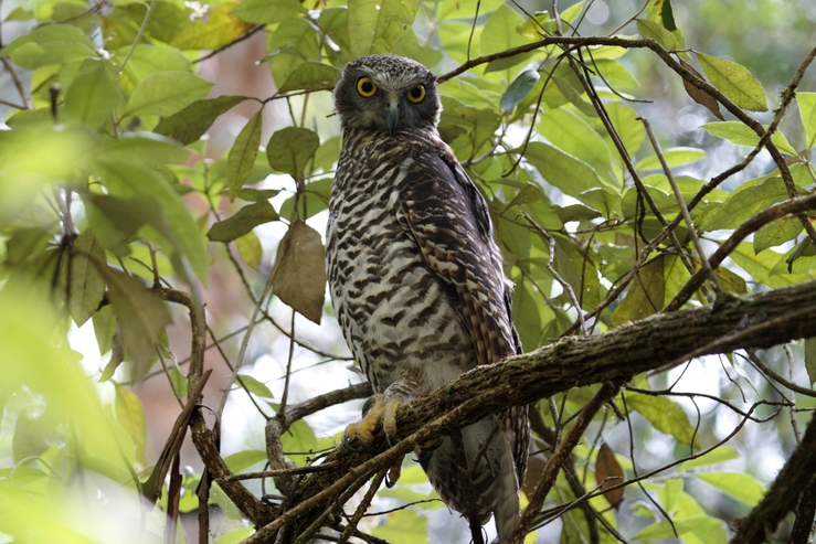 Powerful Owl, Kinglake, Victoria