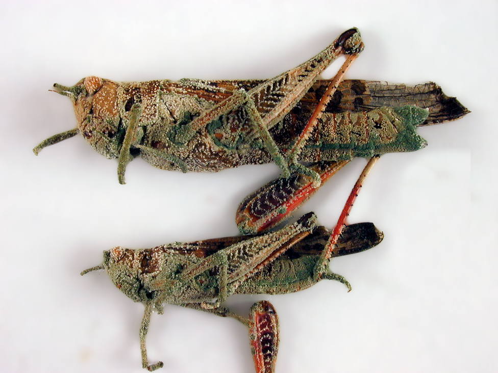 Locusts attacked by the fungus, Metarhizium
