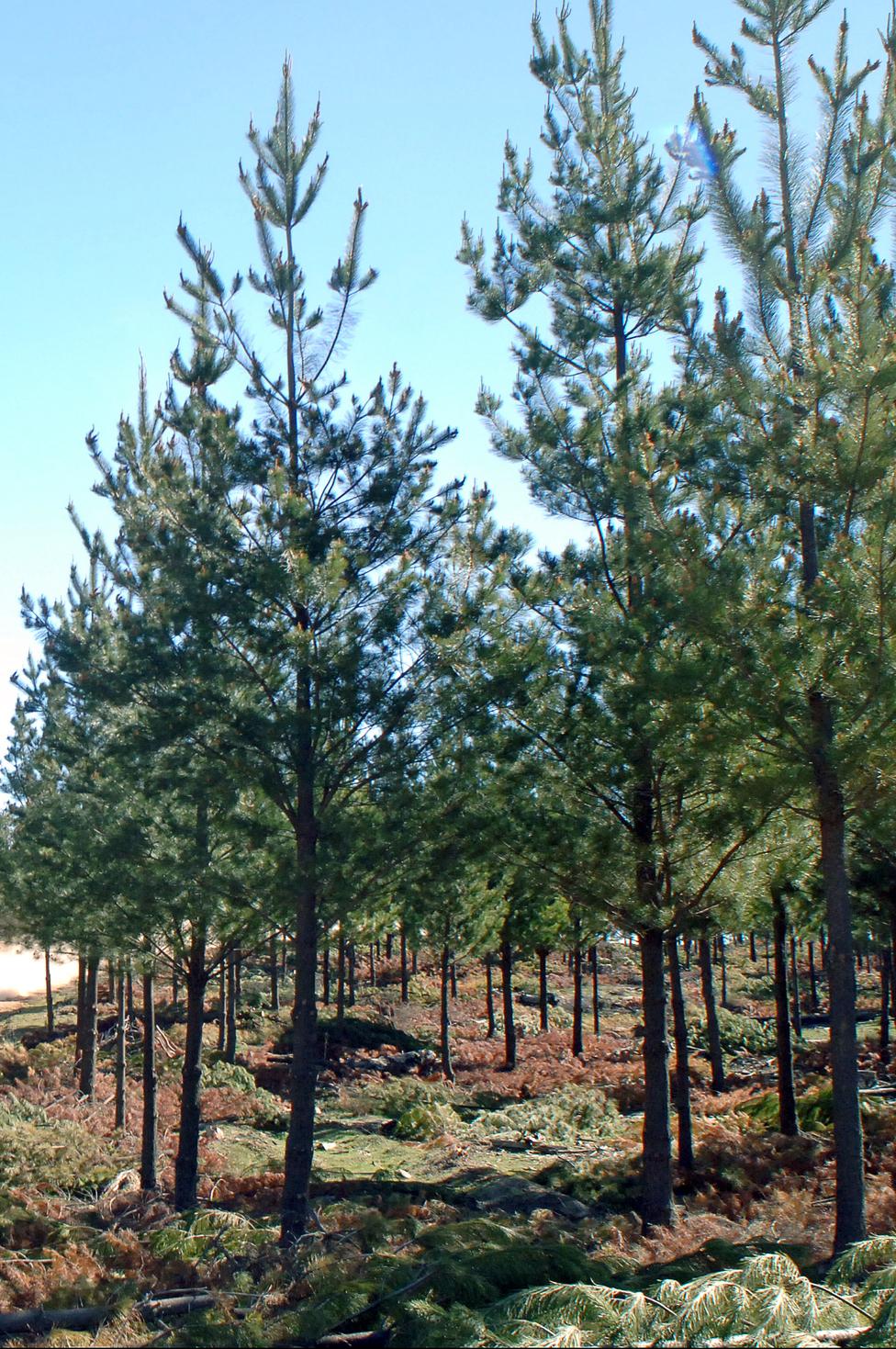 Radiate pine