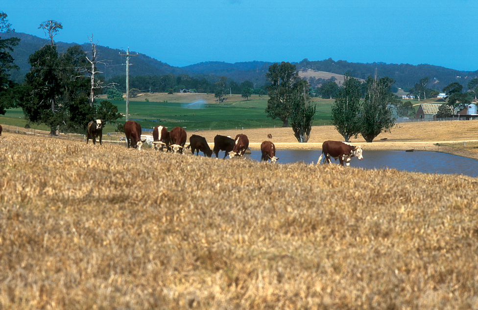 Cattle grazing on pastures, with earthen dam for stock water...