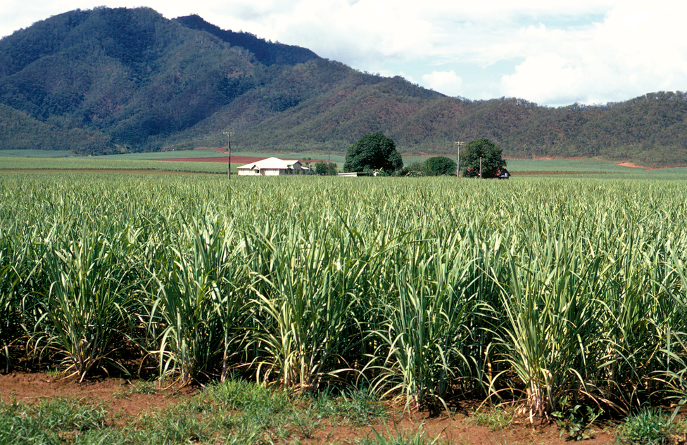 Sugar cane crop with mountain in background at Cairns, QLD, by Gregory Heath on January 01 2002