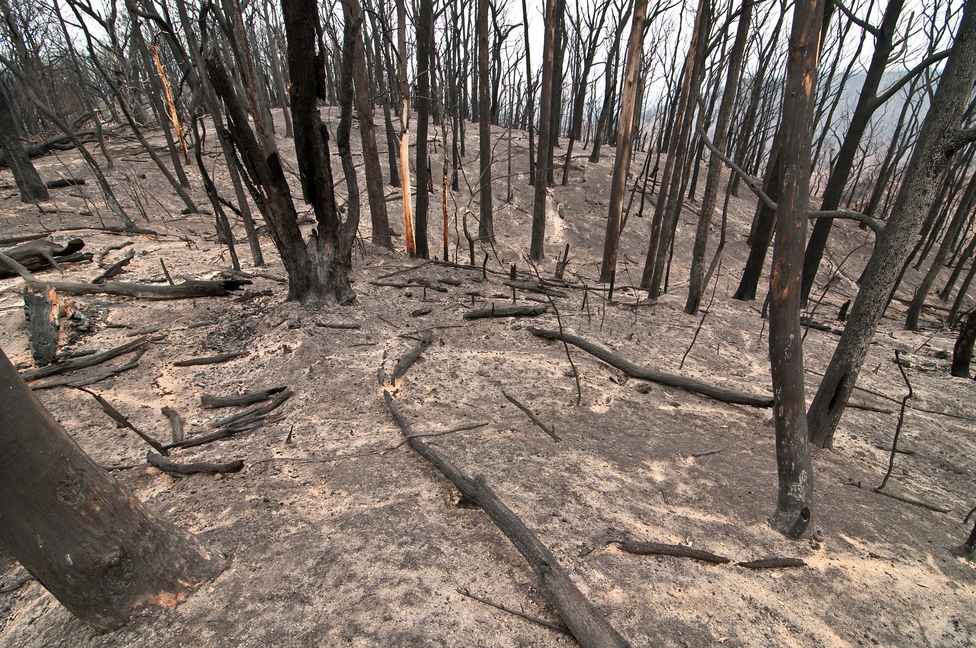 The Kinglake National Park after the 'Black Saturday' bushfi...