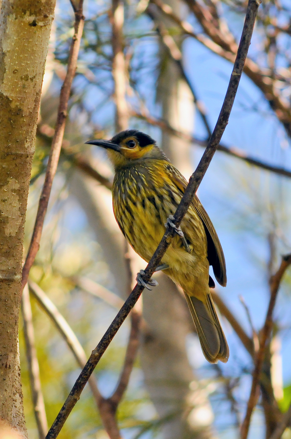 Macleay's Honeyeater, Malanda, Queensland
