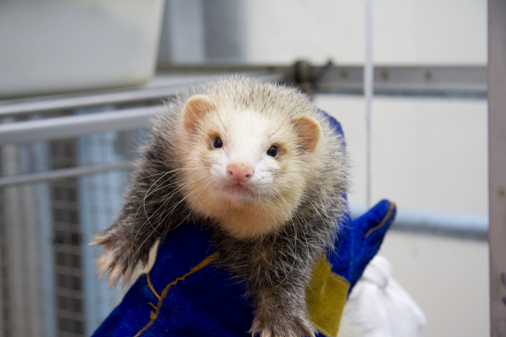 A ferret at AAHL