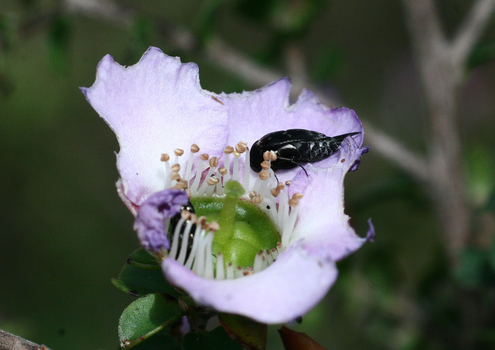 Insect feeding on a tea-tree flower