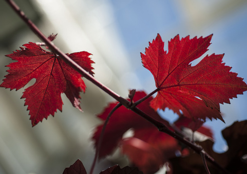 Red Leaves of a Grapevine