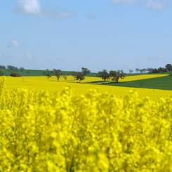 Wheat and Canola Crops