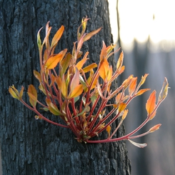 Eucalypt regrowth after Black Saturday bushfires