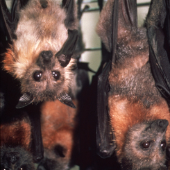 Fruit Bats, Virus Hosts