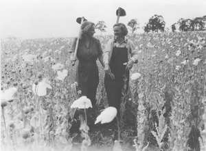 Dickson poppy fields at CSIR Dickson Experimental Station in the Australian Capital Territory.  Two Land Army girls (Marge Craig and Lea (Jea?) Stevenson illustrating the height of the poppies.