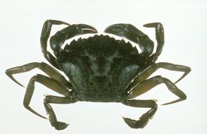 The European Green Crab