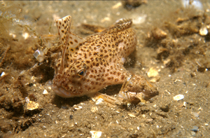 Adult and Juvenile Spotted Handfish