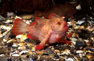 The Red Handfish