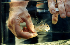 Catching a Handfish in a Tank