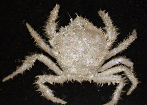 A new species of Trichopeltarion crab - a group of deepsea crabs, this species is restricted to seamounts in southeastern Australia