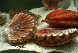 Scallops on the Seabed