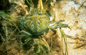 Carcinus maenas, European Green Crab