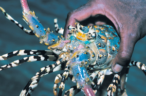 Panulirus ornatus - The ornate or tropical rock lobster