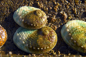 Cultured abalone