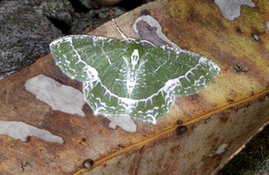 A Camouflaged Grassland Moth