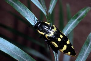 Banksia Jewel Beetle, Buprestidae Family