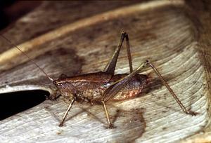 A Baraya Grasshopper