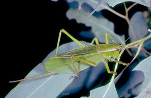 A Burnirru Grasshoppers