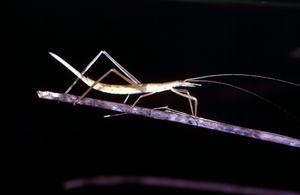 A Kawanaph Grasshopper
