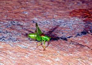 A Micutell Grasshopper