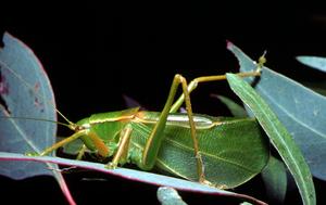 A Mirru Grasshopper