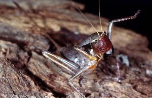 A Pachysag Grasshopper