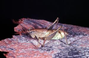 A Regklera Grasshopper