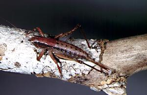 A Requena grasshopper