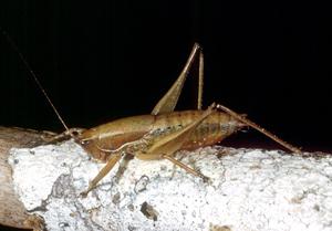 A Reg_vic Grasshopper