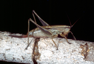 An Example of the Requena Species of Grasshopper