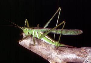 A Sallyae Grasshopper