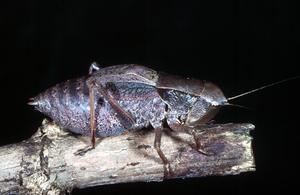 A Sciarasa Grasshopper