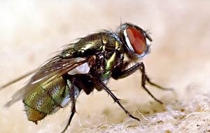 An Australian sheep blowfly