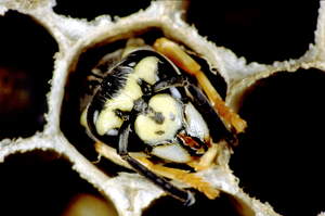 A European Wasp in a Hexagonal Comb