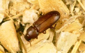 A Grain Pest, Triboleum crstanium