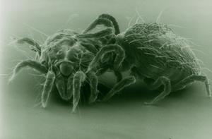 Spider Mite Attacked by a Predator Mite