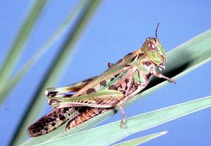 An Australian plague locust - Chortoicetes terminifera