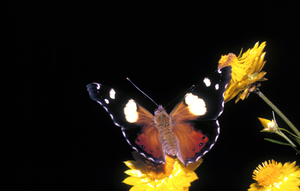 Australian Admiral or Yellow Admiral