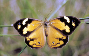 Common Brown/Western Brown Butterfly