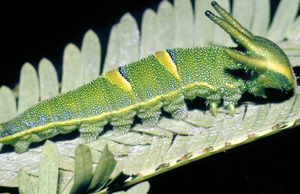 Caterpillar of the Tailed Emperor Butterfly